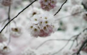 Белые цветки вишни