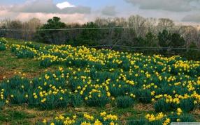 Распустились желтые цветы