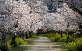 Деревья в белых цветах