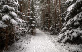 Дорога в хвойном лесу