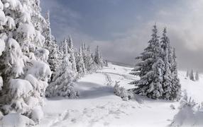 Елки занесенные снегом