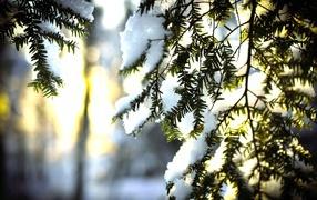 Снег на ветках