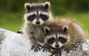 Пара животных енотов-полоскунов для стволе дерева