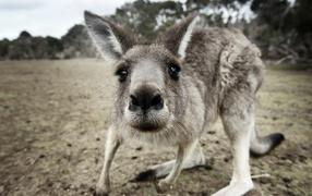 Любопытный крохотный кенгуру