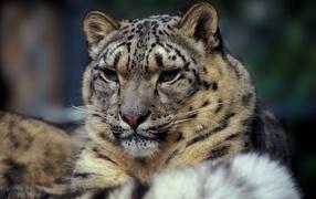 Фото черно белое львы 2