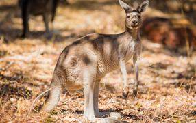 Австралийский кенгуру достаточно возьми бесстрастный траве