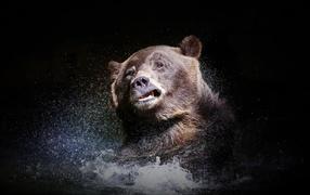 Большой каштановобурый медведище стряхивает воду сверху черном фоне