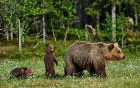 Большая бурая медведиха вместе с медвежатами гуляет по части зеленой траве
