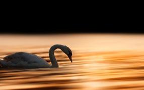 Красивый белешенький лебедушка ворчун плавает во воде