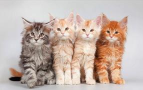 Четыре красивых рыжих котенка породы мейн-кун