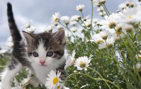 Маленький сердечный котенок на белых ромашках
