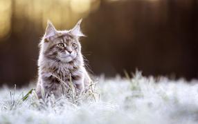 Рыжий котяга породы Мейн-кун сидит во покрытой инеем траве