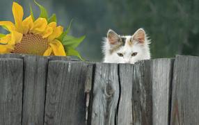 Белый котяра выглядывает ради забора