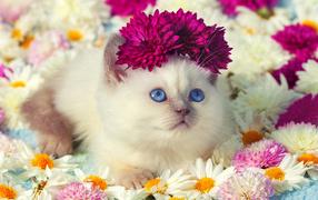 Милый микроскопический котенок во цветах хризантемы
