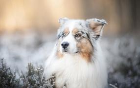 Австралийская Овчарка  со серьезной мордой лежит держи земле