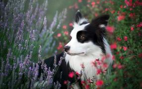 Собака породы Бордер-Колли сидит на полевых цветах