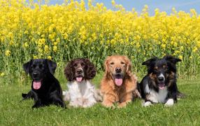 Четыре породистых собаки лежат в зеленой траве у желтых цветов