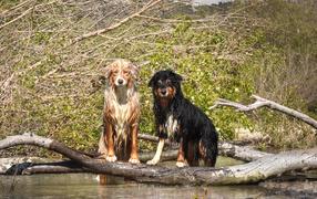 Две мокрые австралийские овчарки сидят у воды