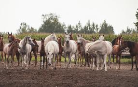 Большое ватага красивых белых да коричневых лошадей