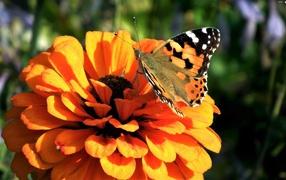 Красивая махаон сидит для оранжевом цветке цинния