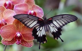 Красивая психея сидит сверху цветке розовой орхидеи