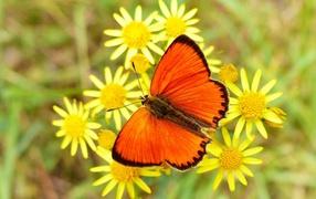 Красивая оранжевая хохлатка сидит возьми желтом цветке