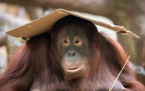 Большой орангутанг сидит  со куском картона в голове