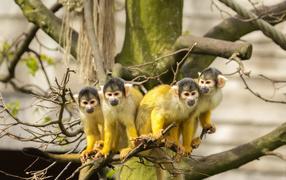 Четыре обезьянки породы Саймири получай ветке