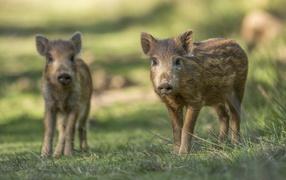 Две маленькие дикие свиньи стоят на зеленой траве