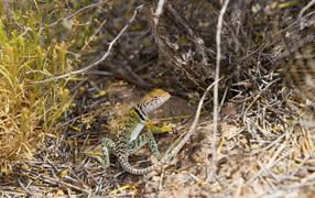 Ошейниковая пустынная игуана на сухих ветках