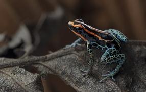 Лягушка ажурный древолаз сидит получи и распишись сухом листе
