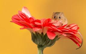Маленький отдельный мышонок сидит на красном цветке герберы