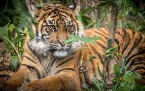 Большой бенгальский тигр лежит во зарослях