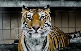 Большой жестокий тигр целесообразно во воде
