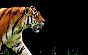 Большой тигр крадется бери черном фоне