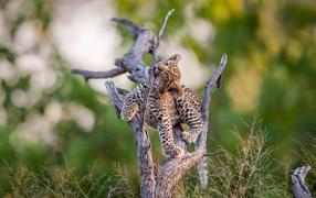 Маленький ненаглядный барс играет возьми сухом дереве