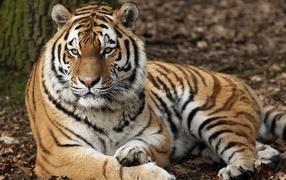 Строгий воззрение большого полосатого тигра