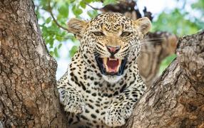 Грозный оскал пятнистого леопарда для дереве