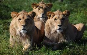 Три львицы лежат в зеленой траве