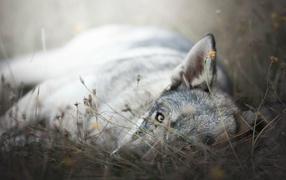 Фото лисы грустной
