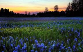 Поле голубых цветов в летнее время в рассвете солнца