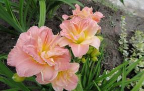 Красивые розовые лилии сверху клумбе