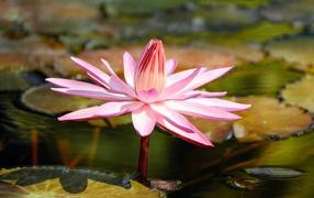 Красивая розовая водяная энкринит во пруду