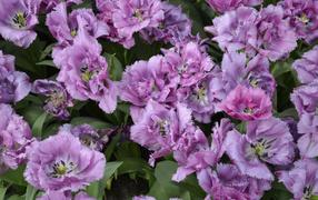 Красивые фиолетовые дары флоры тюльпаны крупным планом