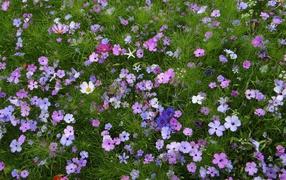 Красивые полевые дары флоры космея равно голубые васильки