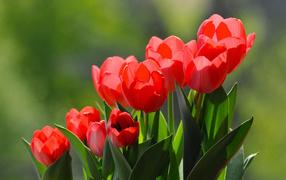 Букет красивых ярких красных тюльпанов