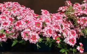 Нежные розовые дары флоры липпия крупным планом