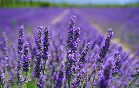Нежные фиолетовые дары флоры лаванды на поле