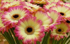 Нежные желтые герберы вместе с розовыми лепестками