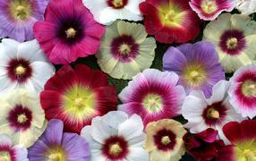 Разноцветные красивые дары флоры мальва